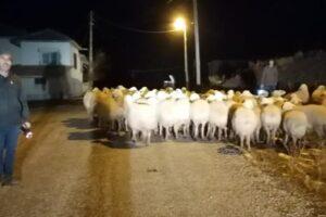 Yerköy'de kaybolan koyunları jandarma buldu