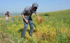 Yozgat mercimek ekiminde birinci sırada