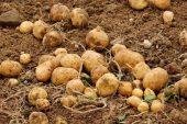 Yozgat'ta patates üretimi yaygınlaştı